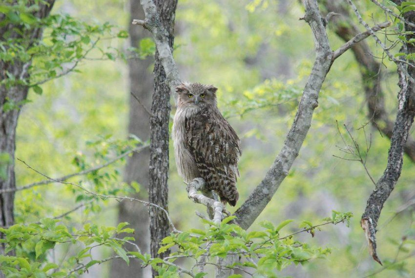 Figure 1. A Blakiston's fish owl. This is the largest species of owl (Photo credit: Wild Bird Society of Japan)
